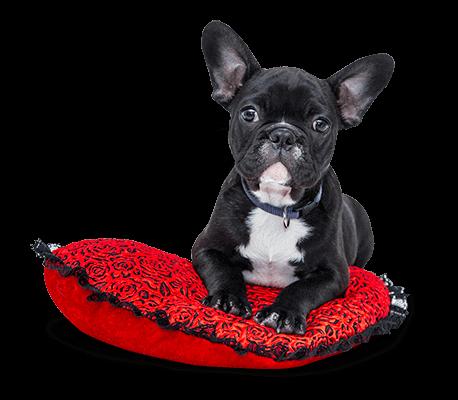 Cão na almofada